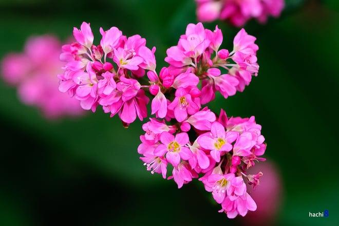 Trải nghiệm khó quên du lịch Hà Giang ngắm hoa tam giác mạch tháng 10